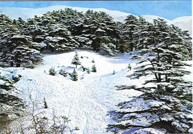 The Cedars, Lebanon: The Cedar Forest under snow